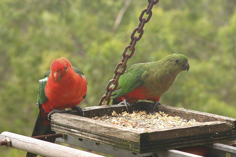 Australian King-Parrot, male & female, front on, Swagman's Rest